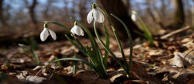 New_beginnings_-_snowdrops